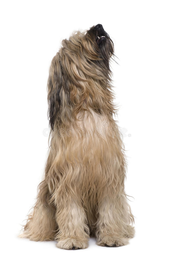 Download Briard dog, 14 months old stock photo. Image of background - 13816332