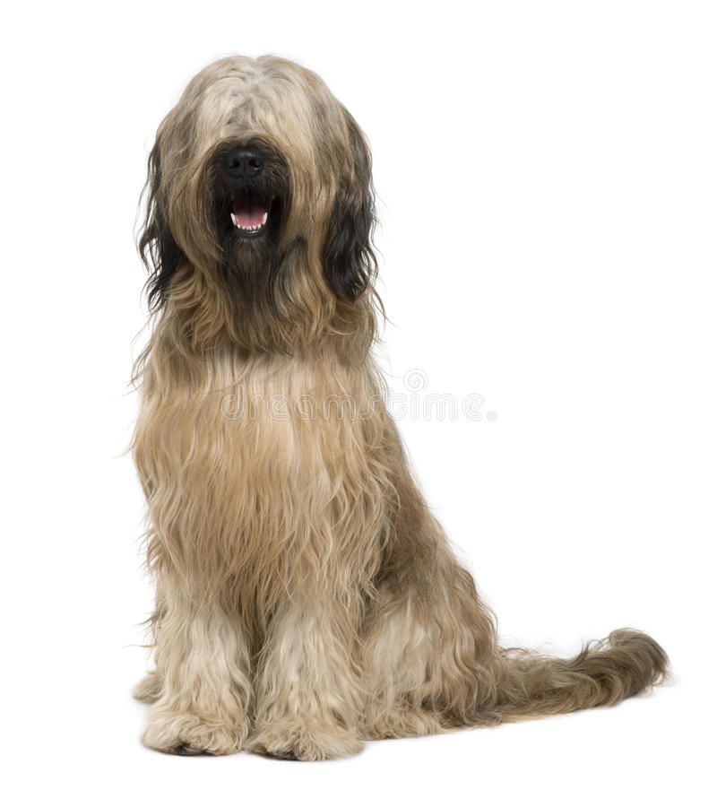 Download Briard Dog, 14 Months Old, Sitting Royalty Free Stock Photo - Image: 15357985
