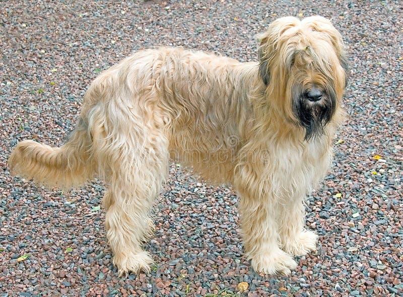 Download Briard dog 2 stock image. Image of shaggy, path, hair - 3025593