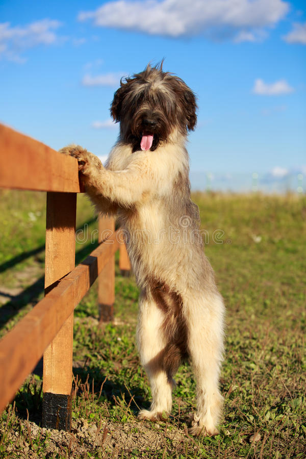 Download Briard dog stock photo. Image of wood, briard, snow, autumn - 35891446