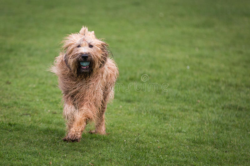 Briard Dog stock photo