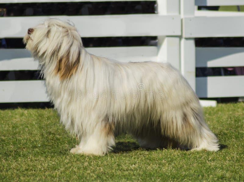 Briard hund arkivbilder