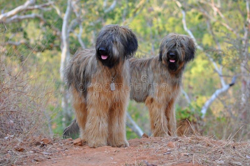 Briard hundar royaltyfri bild