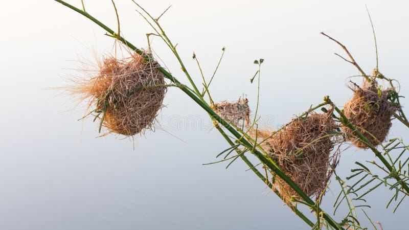 Briarredeweaverbird royaltyfri fotografi