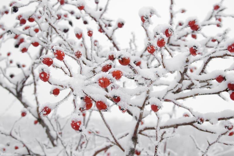 Briarsfrukt som täckas i snow royaltyfria foton