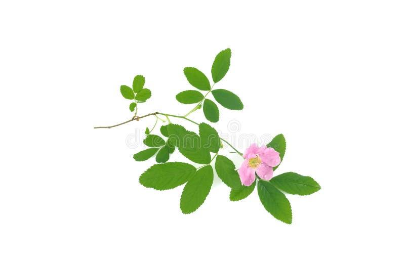 Briarträdfilial med denros blomman royaltyfria foton