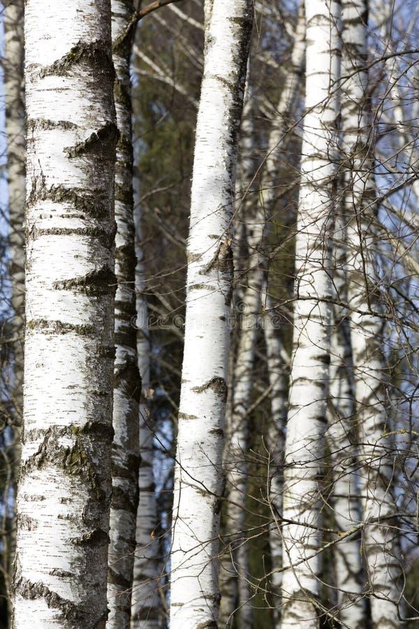 Brich träd arkivbild