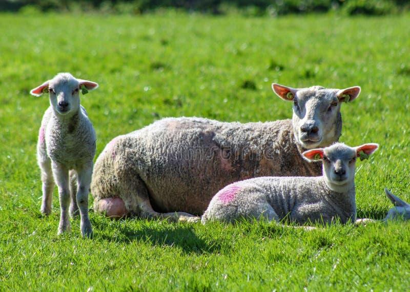 Briciolo delle pecore della madre i suoi due agnelli immagini stock