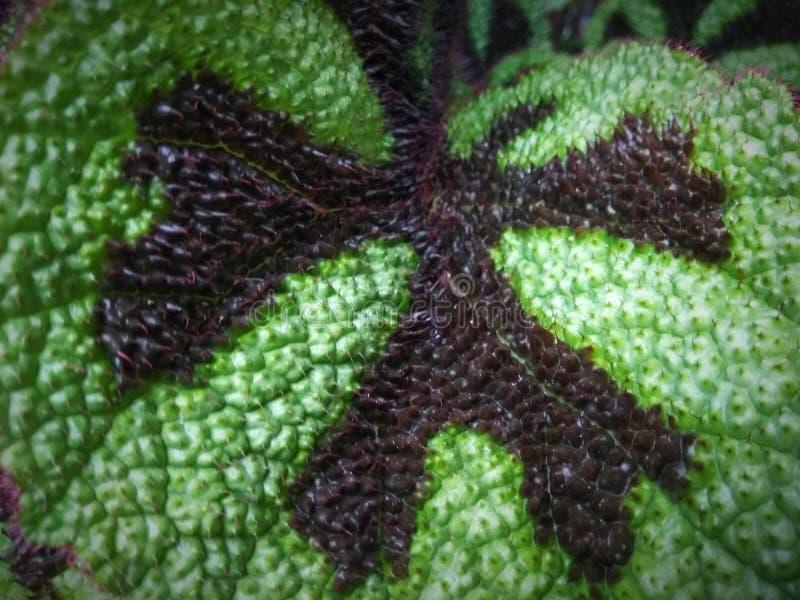 Briciolo verde della foglia peloso fotografia stock libera da diritti