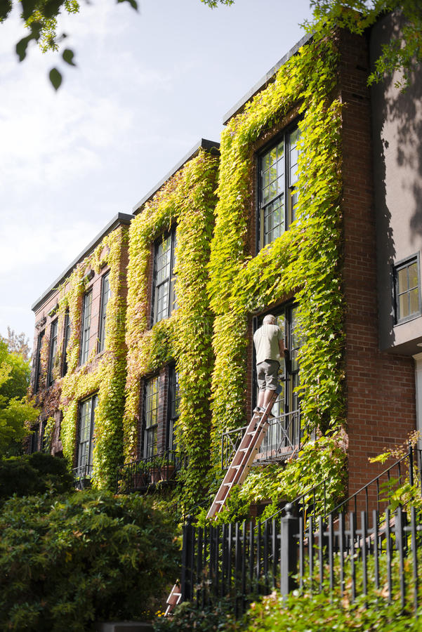 Brick building with ivy and man is repairing the window. A craftsman man with a ladder repairing a damaged window in the two-storey rich apartments with royalty free stock photography