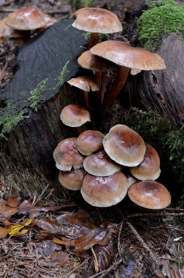 Download Brick Tuft stock image. Image of fungi, tuftl, leaf, lateritium - 27174073