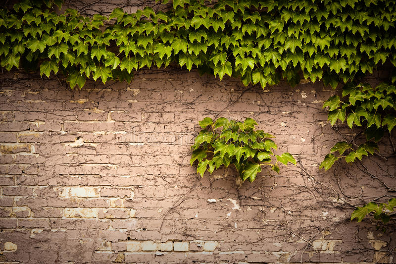 Brick wall. Covered with vine