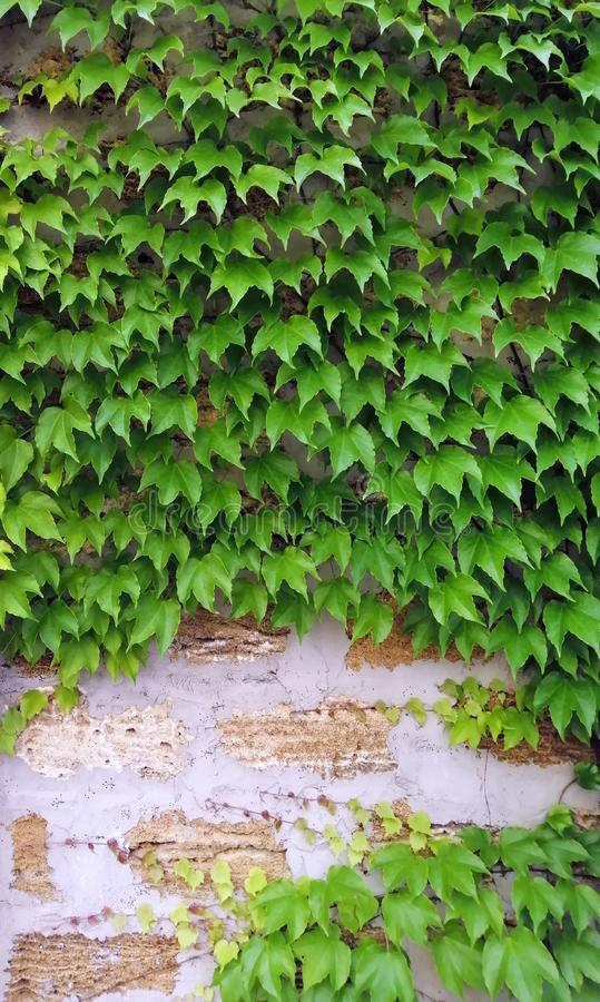Brick wall, with climbing plants of ornamental grapes, castle railing, sandstone, masonry, cement joints. Site background royalty free stock photo