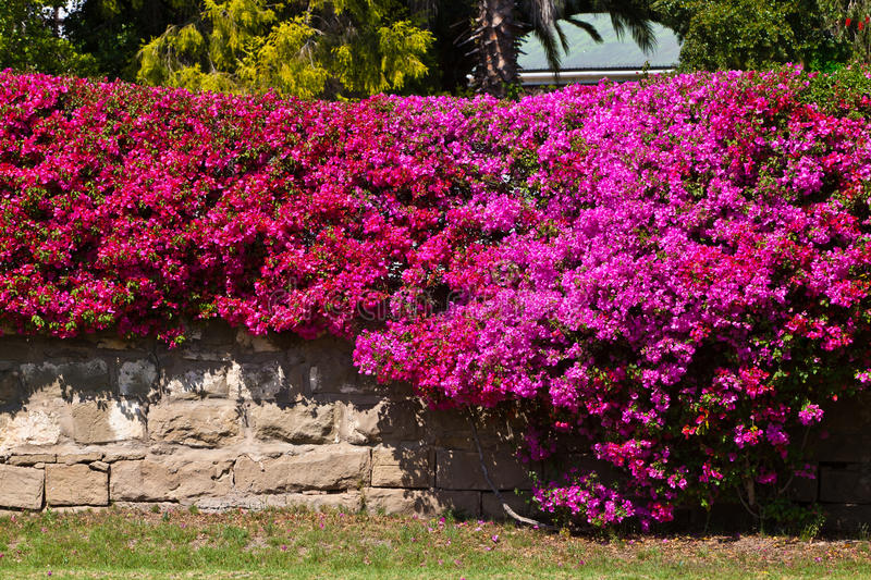 Brick wall covered with a bougainvillea flower stock photography