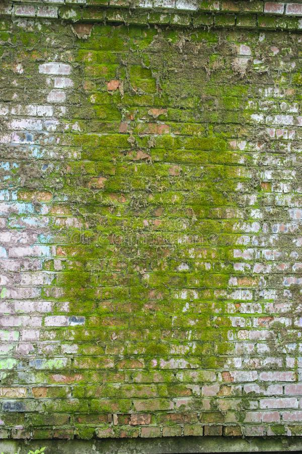 Brick wall covered with green moss. Sataraya brick wall is wet and covered with thick moss. Texture background. Plants growing on stones and walls stock photos