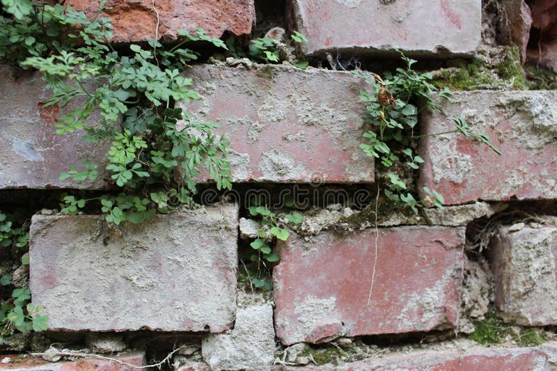 Brick wall with its own ecosystem. Plants growing in a brick wall and building their own ecosystem stock photos