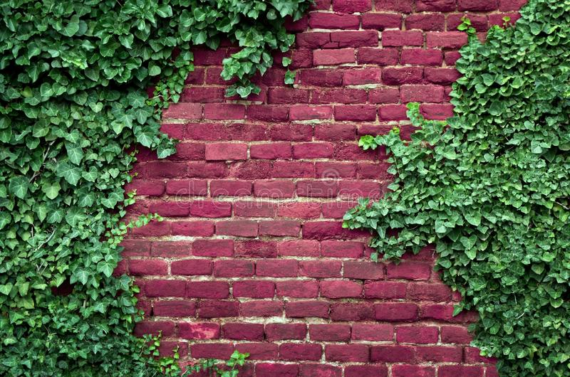 Brick wall, ivy stock photo