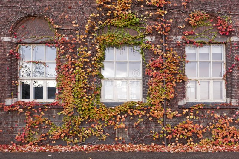 Brick wall with windows and vertical landscaping. Grapes and ivy - ampel plants stock photo