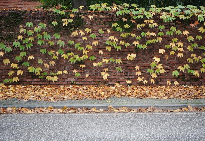 Brick wall with yellow and green vine leaves on it. Sidewalk full of fallen foliage and the asphalt road. royalty free stock photo