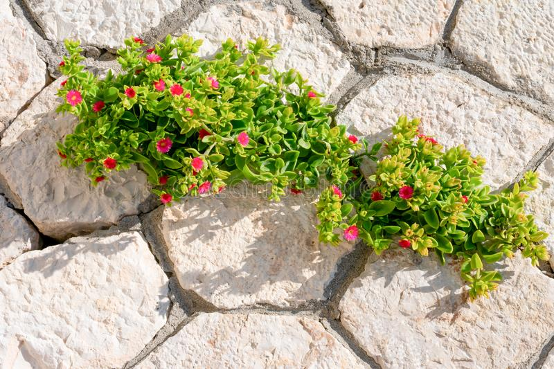 Brick wall with young green plant with red tiny flowers that growing through it. Concept of leadership stock photography