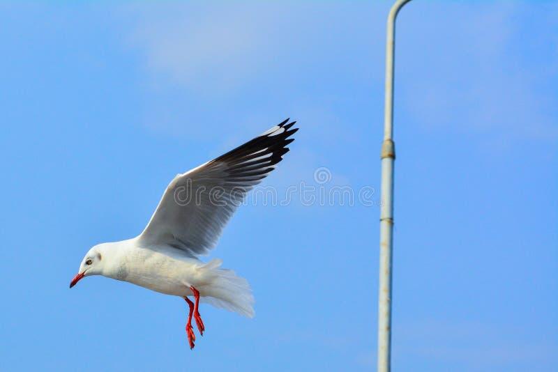 Brid da gaivota que frita com céu azul imagens de stock