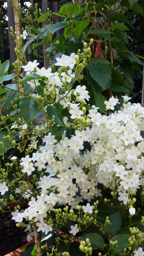 Bridal wreath flowers royalty free stock images