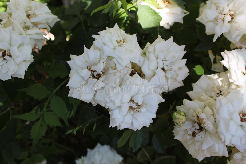 Bridalwreath spirea royaltyfria foton