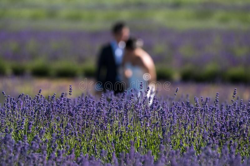 Bride and groom blurred having fun in a field of lavender on a flower farm in the Cotswolds, UK. Bride and groom blurred having fun in a field of lavender on a stock photos