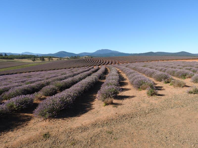 Bridestowe-Lavendel-Bauernhof, Tasmanien lizenzfreie stockbilder