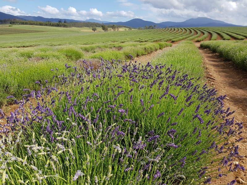 Bridestowe-Lavendel-Zustandsbauernhof Tasmanien Australien stockfoto