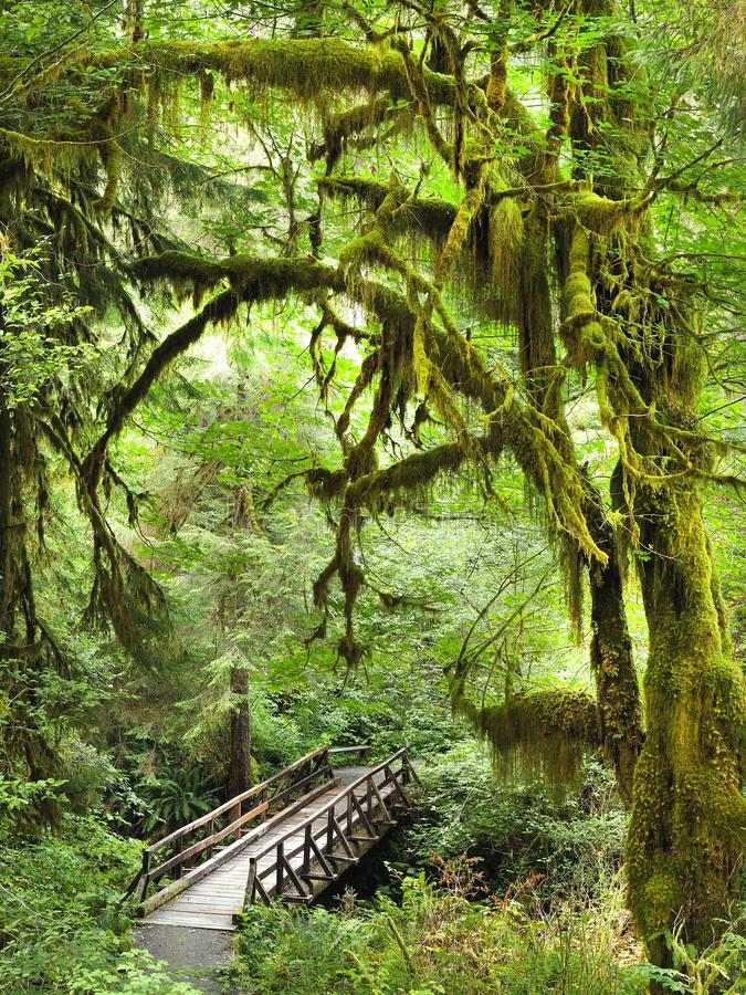 Free Bridge And Trail Through The Moss Covered Trees Of Olympic National Park, Washington Stock Photography - 107028622