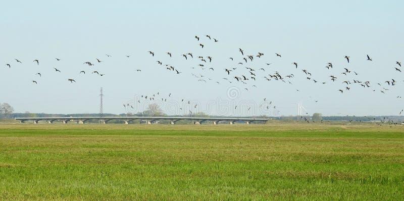 Bridge and flying goose birds, Lithuania royalty free stock photos