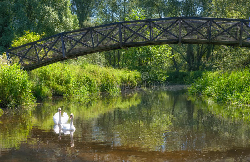 Bridge Of Swans. Two mute swans on the River Yare in Norfolk pass under an iron footbridge surrounded by trees and foliage, which like the swans and the bridge stock photo
