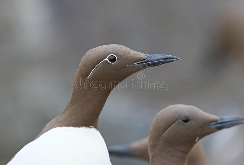 Bridled Guillemot. On the Farne Islands royalty free stock photos