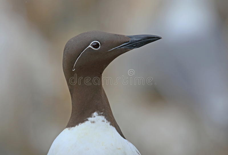 Bridled Guillemot. On the Farne Islands royalty free stock images