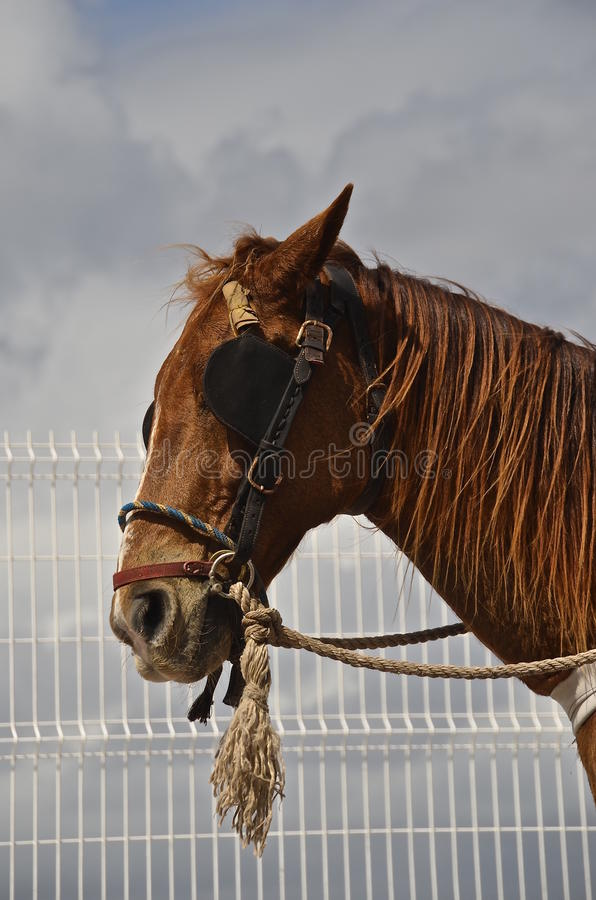 Bridled horse with blinds stock image