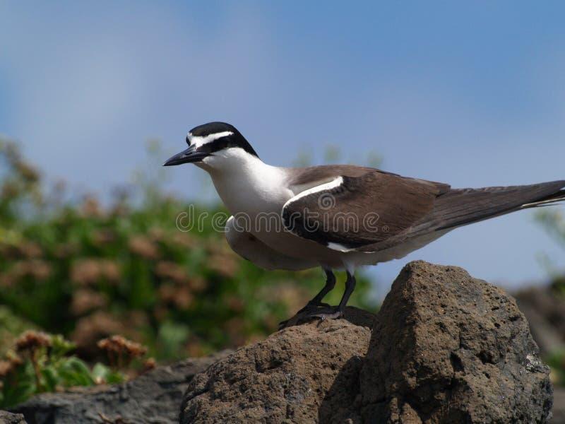Bridled Terns (Sterna anaethetus) stock image