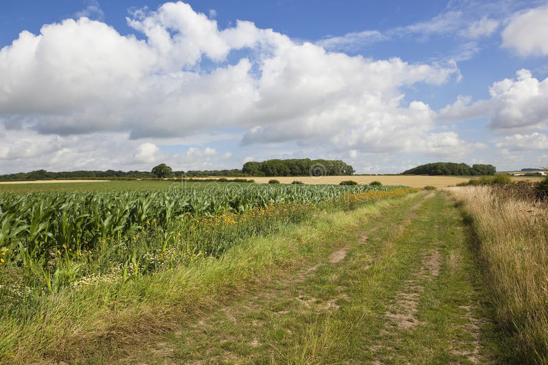 Download Bridleway with maize stock photo. Image of environment - 32914544