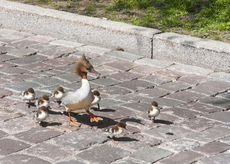 Download Brids Family On A City Street Stock Image - Image: 24812525