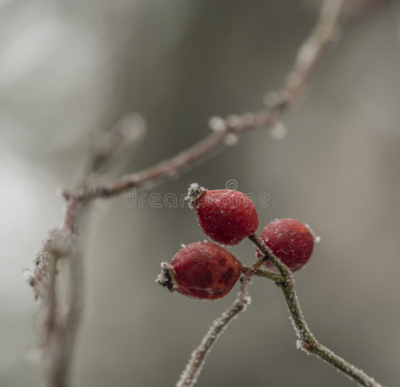 Brier fruit after frost in cold winter. Day stock photos