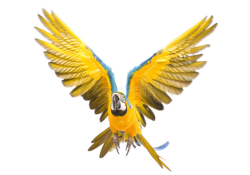 Bright ara parrot flying. Flying bright blue and yellow macaw parrot