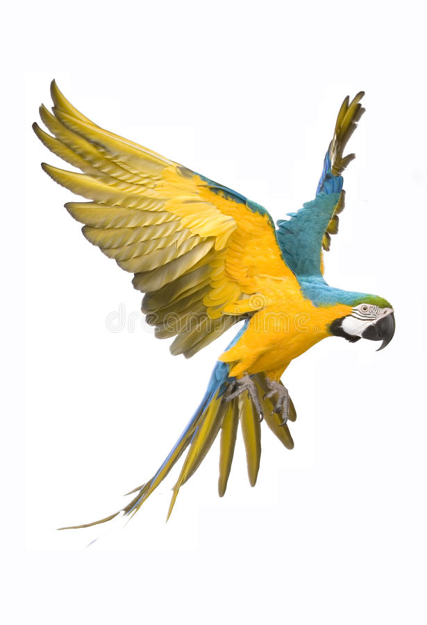 Bright ara parrot flying royalty free stock photography
