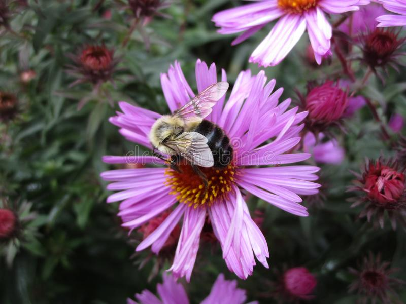 Bright attractive bee pollinating purple Aster flower close up in a garden stock images