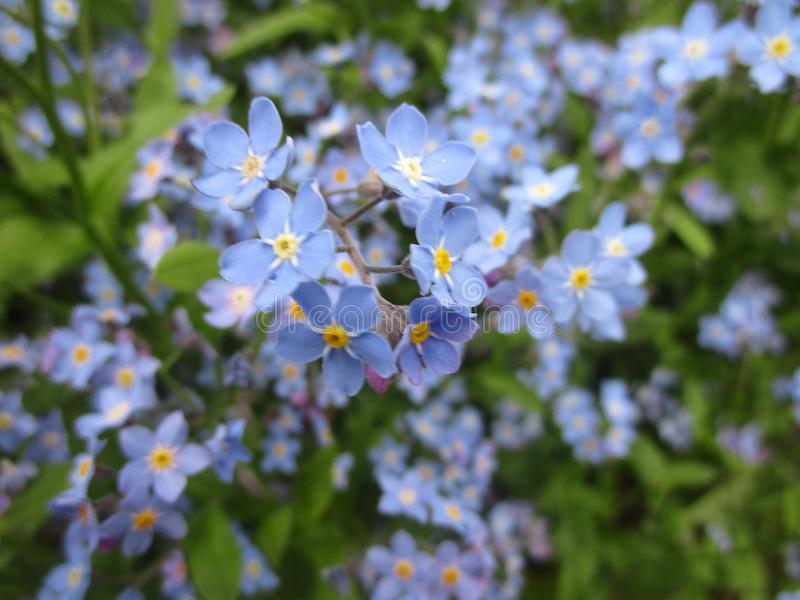Bright attractive colorful forget-me-not flowers blooming in early spring at Queen Elizabeth Park Rose Garden stock photo