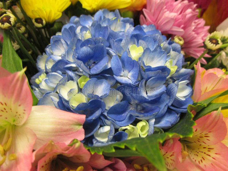Bright attractive colorful blue white fresh hydrangea flower bouquet close up stock photography