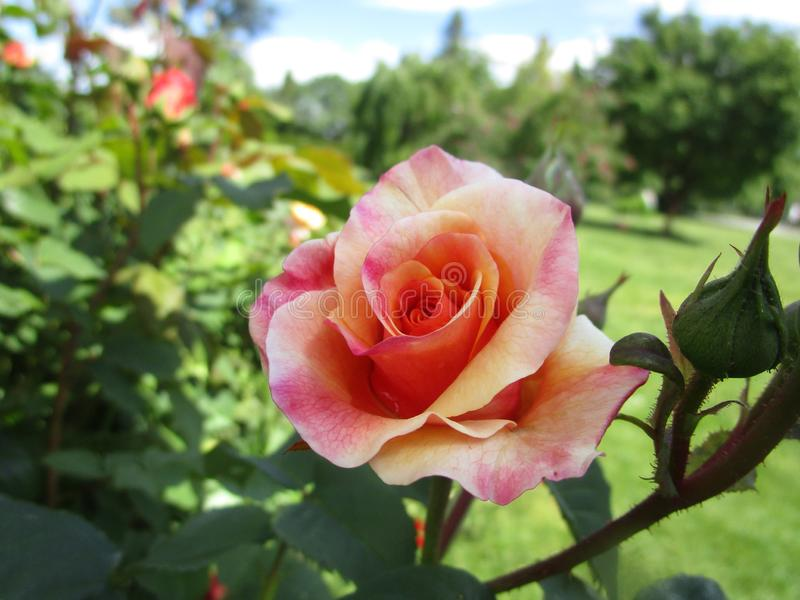 Bright attractive nature peach pink rose flower blooming in spring at Queen Elizabeth Park Garden royalty free stock images