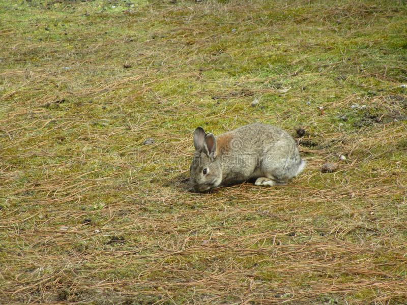 Bright attractive one lonely brown bunny rabbit in the field 2019 royalty free stock image