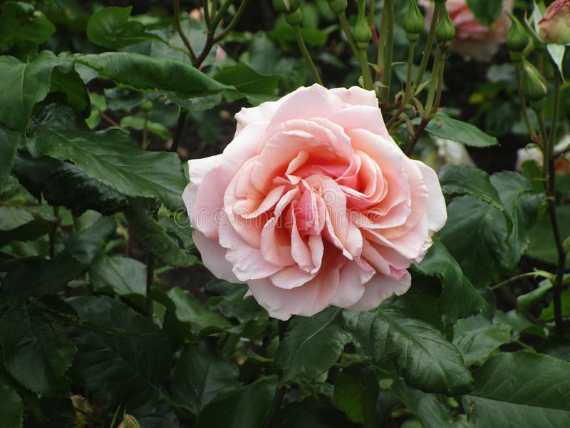 Bright attractive peach color rose flowers blooming in summer at Stanley Park Rose Garden stock photos