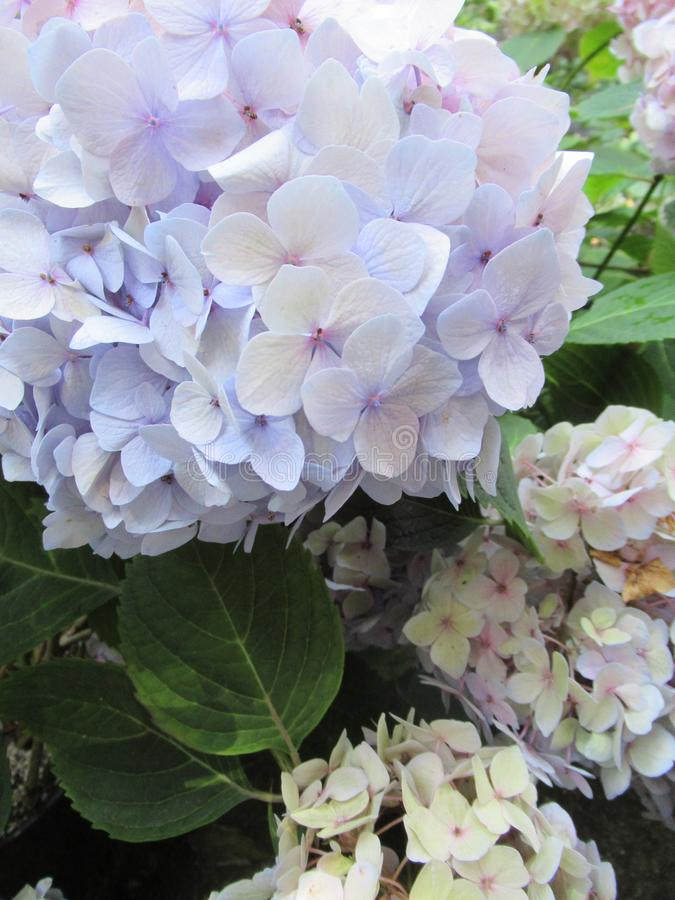 Bright attractive sweet light color hydrangea flowers blooming in mid-summer in a garden 2019 royalty free stock photography