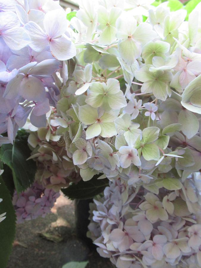Bright attractive sweet light color hydrangea flowers blooming in mid-summer in a garden 2019 royalty free stock images